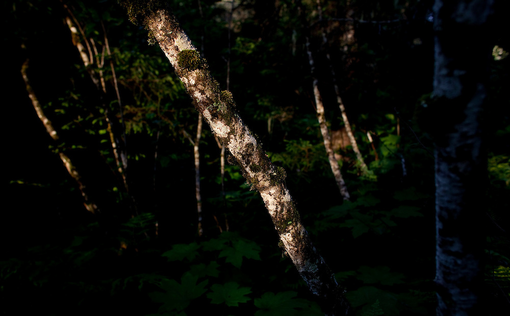 Alaska2010.-The sun shines on Birch trees in the woods near Homer AK.