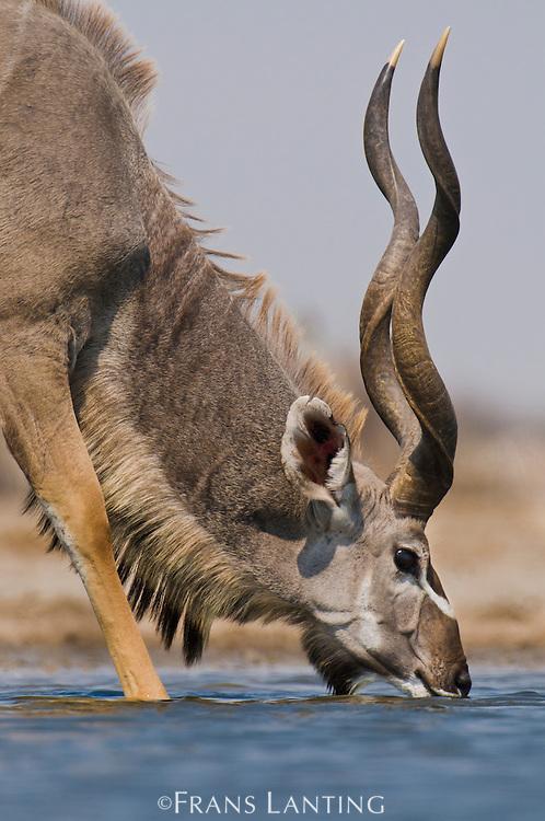 Greater kudu drinking at waterhole, Tragelaphus strepsiceros, Etosha National Park, Namibia