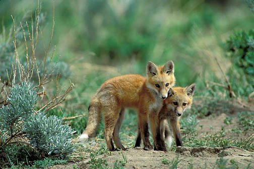 Red Fox, (Vulpus fulva) Pair of fox pups playing together near den. Spring.