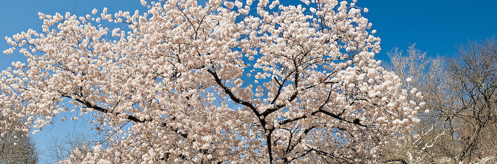 New Jersey, Newark, Branch Brook Park, Spring, Cherrry Blossom, Tree Panorama