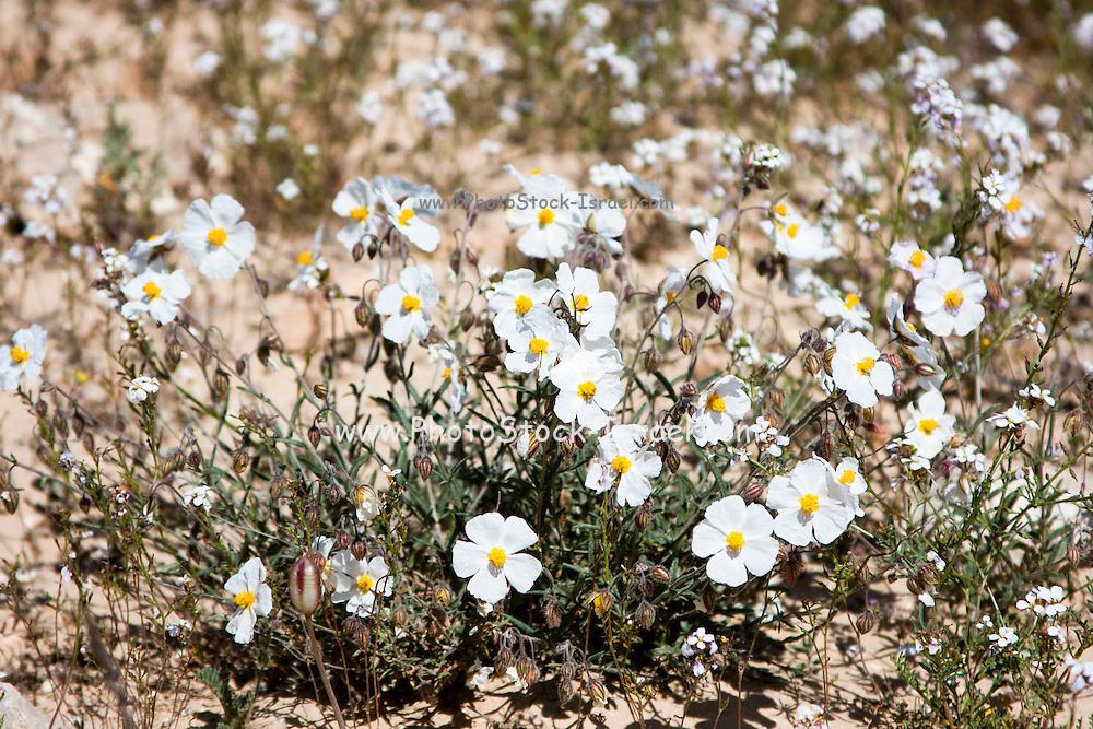 white Sun-Rose (helianthemum vesicarium) colorful flowering at spring time in the Negev desert , Israel