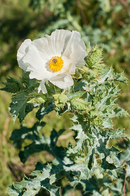 The prickly poppy growing in the Pawnee National Grasslands in northeastern Colorado under a big summer sky. The sharp spiny leaves will leave a lasting stinging sensation.