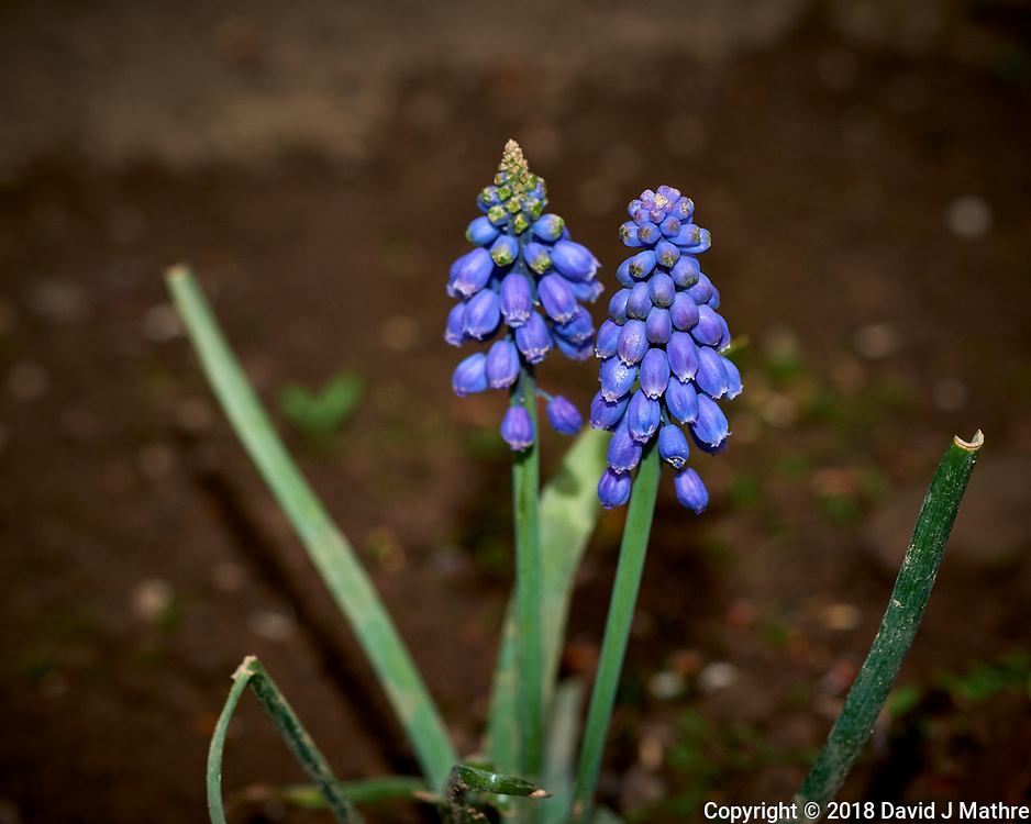 Grape hyacinths (Muscari) . Image taken with a Fuji X-H1 camera and 60 mm f/2.4 macro lens (ISO 200, 60 mm, f/5.6, 1/125 sec).