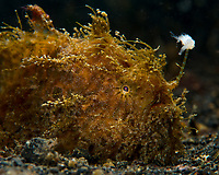 """A striated or """"hairy"""" frogfish (Antennarius striatus) waves its esca or lure in an attempt to attract prey. Some think that the fish's """"hairs"""", which are actually dermal spinules,  are designed to make them look like urchins. My experience is that they are not always found among urchins, so the """"hairs"""" are simply a good way of breaking up the fish's outline for camouflage."""