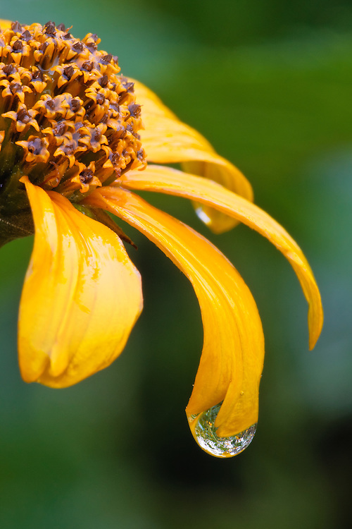 An extreme close-up of rain drops on ox-eye (Heliopsis helianthoides) petals shows the drops acting as tiny fish-eye lenses, Big Meadows, Shenandoah National Park , Virginia.