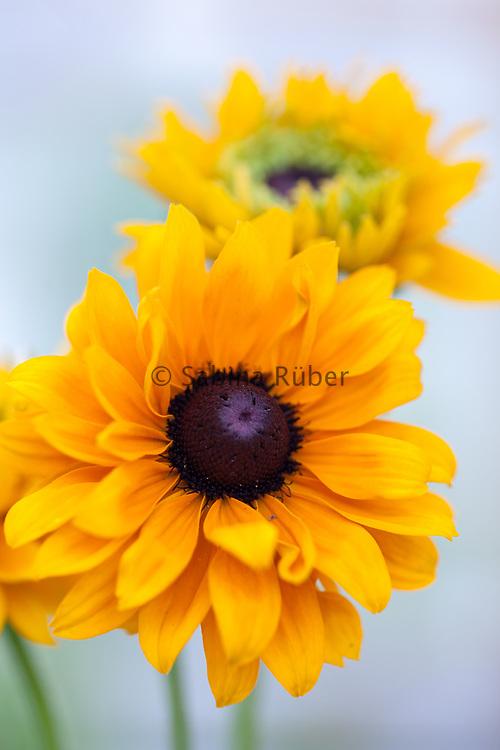 Rudbeckia hirta 'Goldilocks' - black-eyed Susan