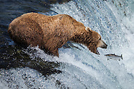 Determination - Brown Bear - Katmai National Park, Alaska: Brooks Falls is one of the best places in the world to watch brown bears because it is one of the first streams in the region where bright, energetic, and pre-spawned salmon are available to bears. In July, most salmon are moving through large rivers and lakes where bears cannot successfully fish. Early in the salmon run, Brooks Falls creates a temporary barrier to migrating salmon. This results in a particularly successful fishing spot for bears. Once salmon stop migrating in large numbers, Brooks Falls is no longer a good place to fish and bears quickly abandon that spot for better fishing elsewhere.
