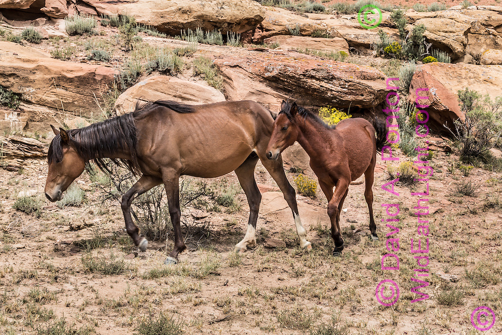 Free-roaming mare with fillie in rugged landscape of northwestern New Mexico, © 2012 David A. Ponton