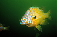 Longear Sunfish<br />