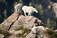 A group of northern Utah Mountain Goats stands along the cliff sides they have been climbing this morning.