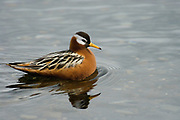 Female of Grey Phalarope (Phalaropes fulicarius), Spitsbergen, Svalbard.