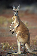 Red Kangaroo,Macropus rufus,South Australia,Australia