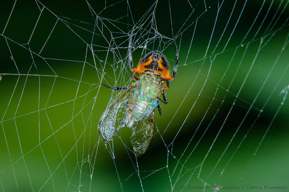 Flame-bellied Orb Weaver Spider [Eriphora ravilla]; feeding on an Emerald Cicada [Zammara smaragdina]; Bijagua, Costa Rica