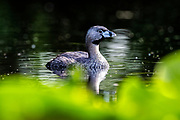 A pied-billed grebe (Podilymbus podiceps) floats on the water among water lilies in the wetlands of the Washington Park Arboretum, Seattle, Washington. Pied-billed grebes are found throughout the Americas, typically on freshwater wetlands that have aquatic plants.