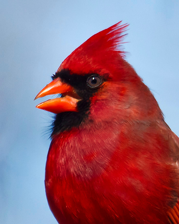 Close up of a cardinal in a tree near Prospect Park Lake.