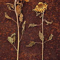 Two dried Sunflowers or Helianthus lying on rusty metal sheet