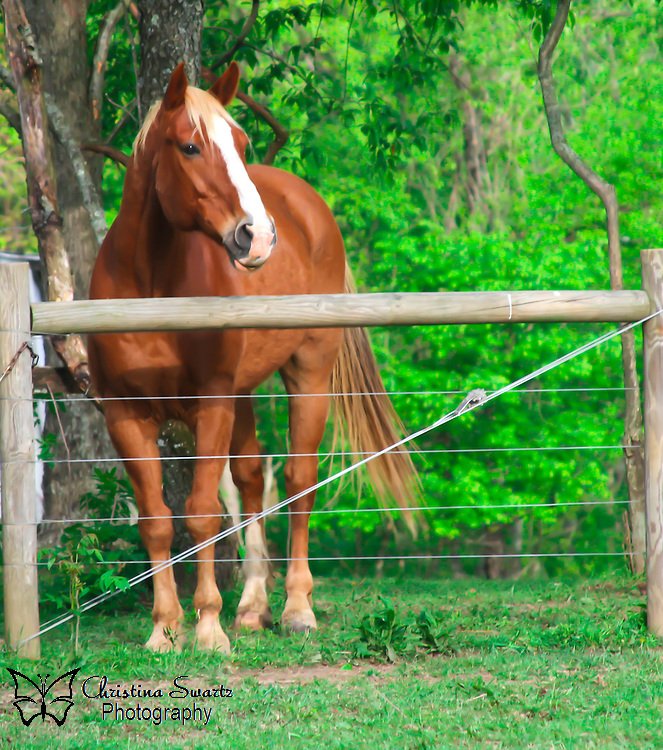 Horse behind fence image for sale, Horses no longer carry soldiers into battle or pull plows and stagecoaches as they once did. But our long relationship with these majestic animals has not ended.