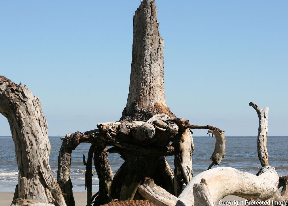 Strange petrified tree on Driftwood Beach Jekyll Island.