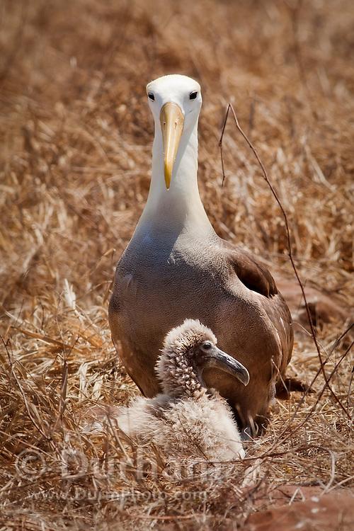 A waved albatross (Diomedea irrorata) ground nesting with a chick on Espanola Island, Galapagos Archipelago - Ecuador.
