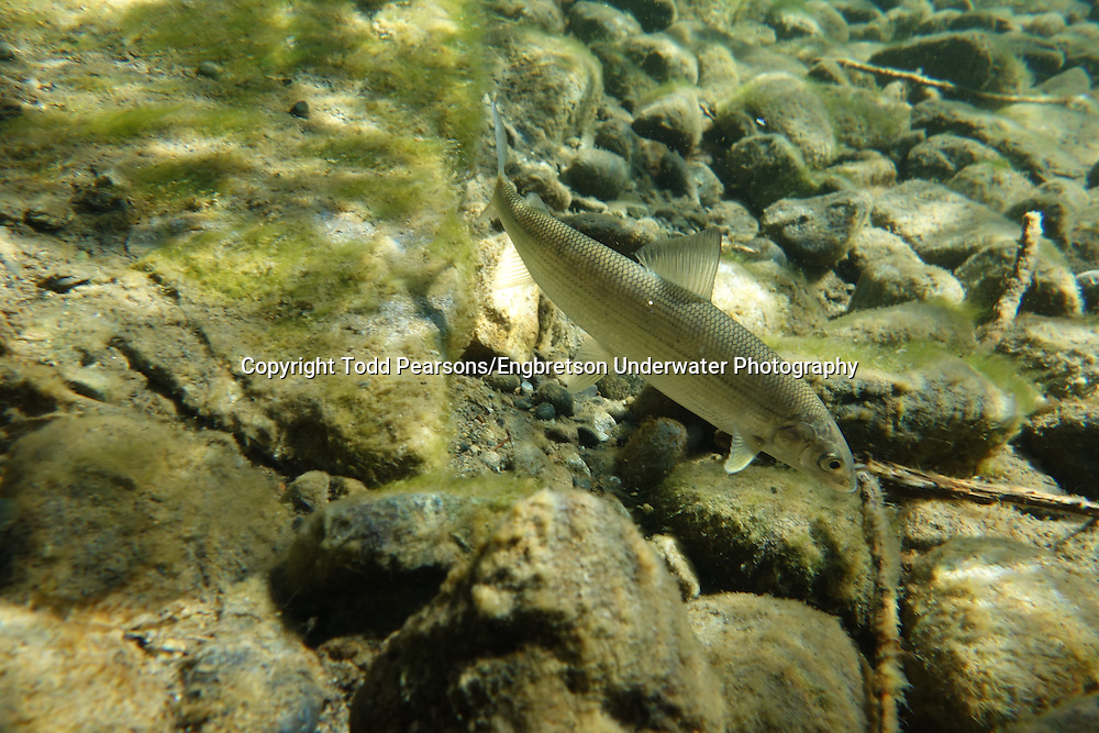 Mountain Whitefish<br /> <br /> Todd Pearsons/Engbretson Underwater Photography