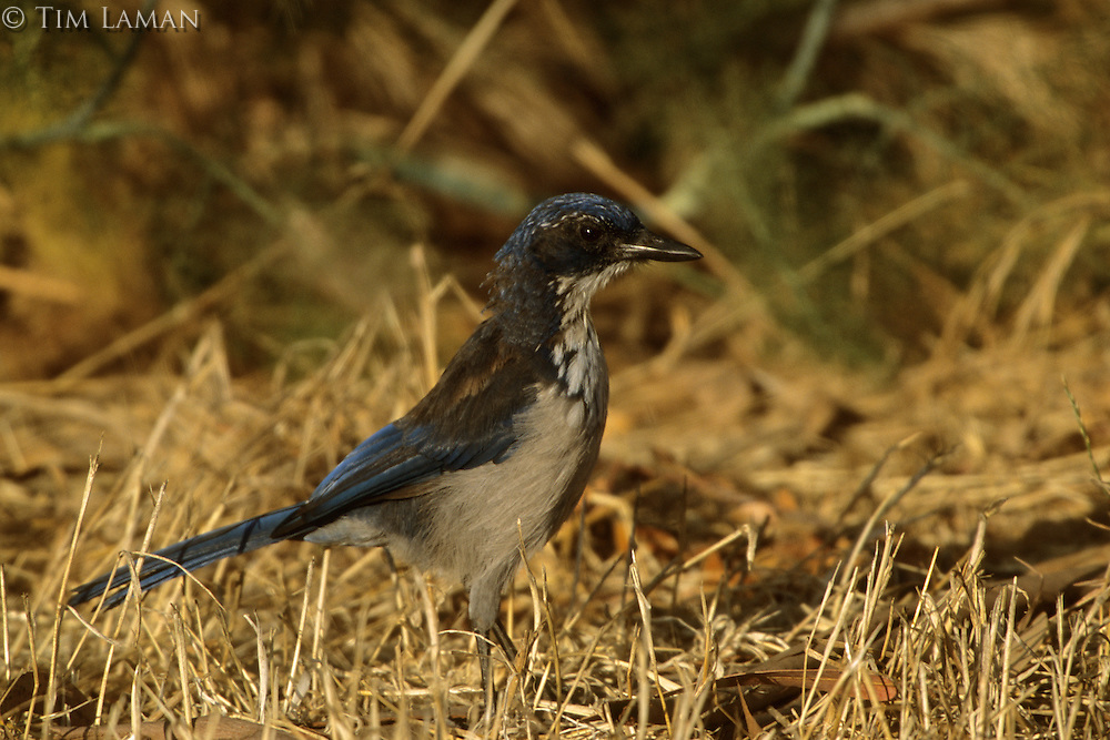 Island scrub-jay (Aphelocoma insularis) is endemic to Santa Cruz Island, California.  July 2002.