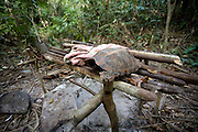 The remains of a tortoise at a poachers camp who had recently fled the advancing rangers. The forest rangers are employed by the Ministry of Environment but sponsored by Flora and Fauna International who pays them 75% of their salary and provides training and accommodation. They undertake regular patrols in to the Samkos Wildlife Sancturary which is part of the Cardamom Mountains Nature Reserve looking for illegal activites such as logging, poaching, land encroachment and the production of the illegal substance sassafras oil. The Cardamom Mountains and surrounding forests is the largest and most pristine area of intact forest in SE Asia. Covering an area of 2.5 million acres it became one of the last strong holds of a retreating Khmer Rouge. Their presence helped preserve the forest as no-one dared to venture inside. But with the Khmer Rouge gone, it faces new dangers from poachers, loggers and illegal drug factories. In charge of protecting this vast forest are a handful of rangers who's job it is to track down and arrest those who are helping to destroy this delicate habitat.