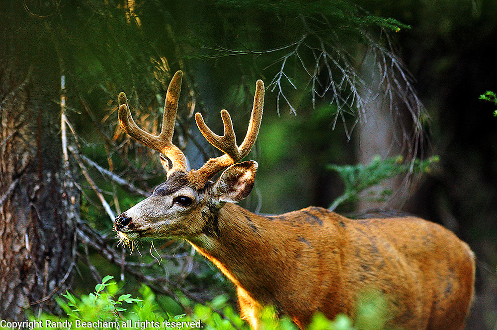 Mule deer buck in a conifer forest. Purcell Mountains, Montana