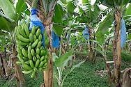 Banana Plantation, Limon Province, Costa Rica. Blue plastic bags are used to protect bananas from insects and adverse weather.<br />