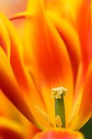 Tulpenmakro, Keukenhof, Holland