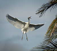 The snowy egret occurs from the United States and southern Canada, south through Central America, the West Indies, South America, and Argentina. In eastern North America, snowy egrets winter along the Gulf Coast and in Florida, as well as north along the Atlantic Coast to New Jersey. The breeding range in eastern North America extends along the Atlantic and Gulf Coasts from Maine to Texas, and inland along major rivers and lakes.