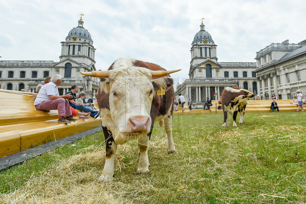 "© Licensed to London News Pictures. 23/06/2019. LONDON, UK.  A pair of Friesian cows graze in a pasture at the Old Naval College as part of a live real life painting called ""Pasture with cows"" by the Captain Boomer Collective. The artwork is part of the Greenwich Fair, itself part of the Greenwich+Docklands International Festival.  The festival runs until 6 July 2019.  Photo credit: Stephen Chung/LNP"