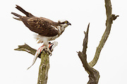 Osprey (Pandion haliaetus). Poole Harbour, Dorset, UK.