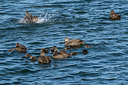 female common eider duck (Somateria mollissima) with chicks. This duck is found over the northern coasts of Europe, North America and eastern Siberia. It migrates south to temperate regions, preferring coastal waters in winter. It is a diving duck that feeds on crustaceans, molluscs and mussels. Photographed in Iceland, snaefellsnes peninsula, in July