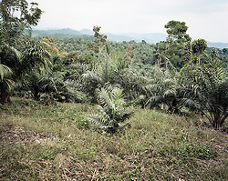 Palm oil plantation outside Nuevo San Carlos, Retaluelu. Areas where palm oil monocultures are expanding, local farmers have been transformed from farmers to agricultural workers. Most employments are only temporary, and when farmers no longer produce for there own consumption they risk to no longer be able to provide for the needs of the family. Because of this, the family's vulnerability and food insecurity increases.