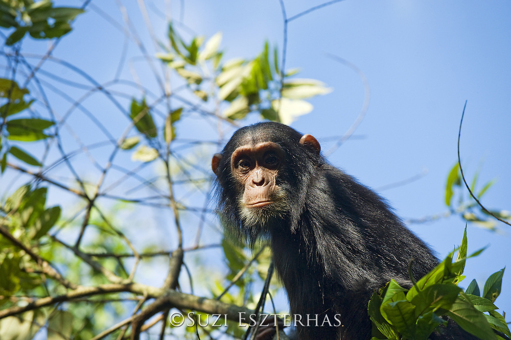 Chimpanzee <br /> Pan troglodytes<br /> Three year old baby eating leaves in tree<br /> Tropical forest, Western Uganda
