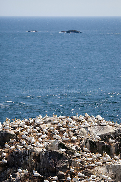 Gannet colony on Great Saltee, one of the Saltee Islands, off the coast of Co. Wexford, Ireland. The Coningbeg and Coningmore Rocks are in the background.