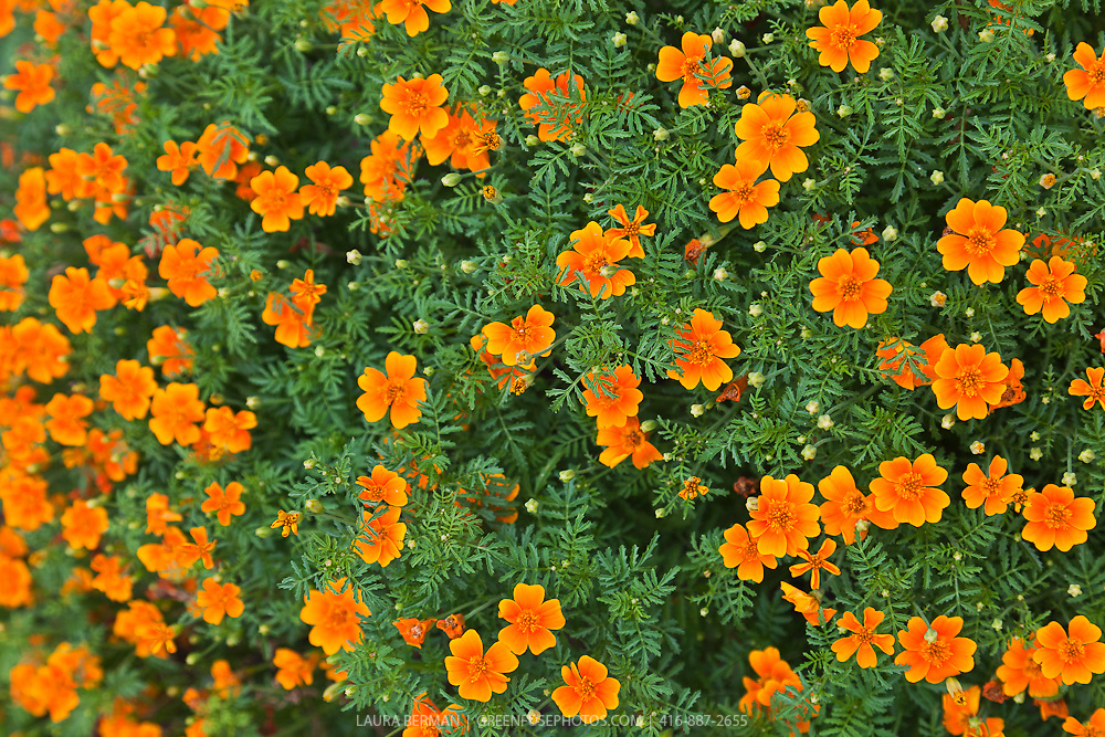 The edible orange flowers of Tangerine Gem Signet marigold (Tagetes tenuifolia 'Tangerine Gem').