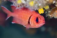 Soldierfish-Poisson soldat (Myripristis murdjan), indian ocean, South Africa.