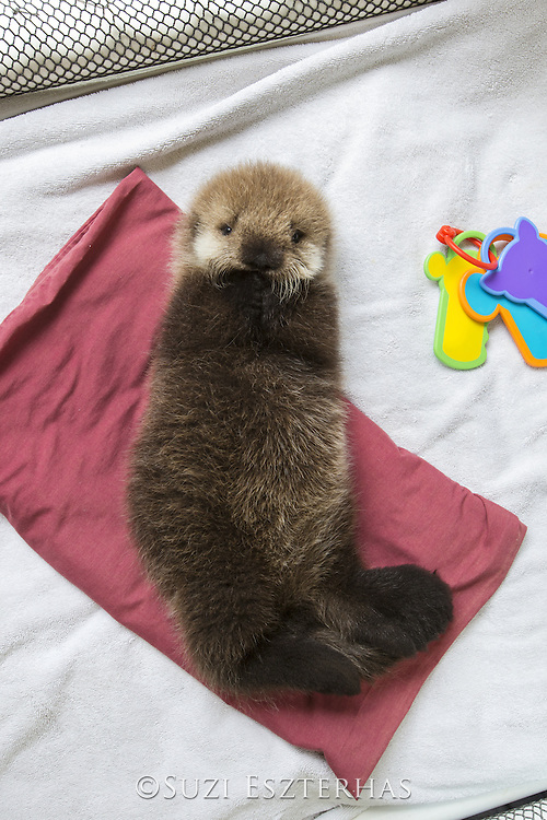 Sea Otter <br /> Enhydra lutris<br /> Three-week-old orphaned pup<br /> Alaska Sea Life Center, Seward, Alaska