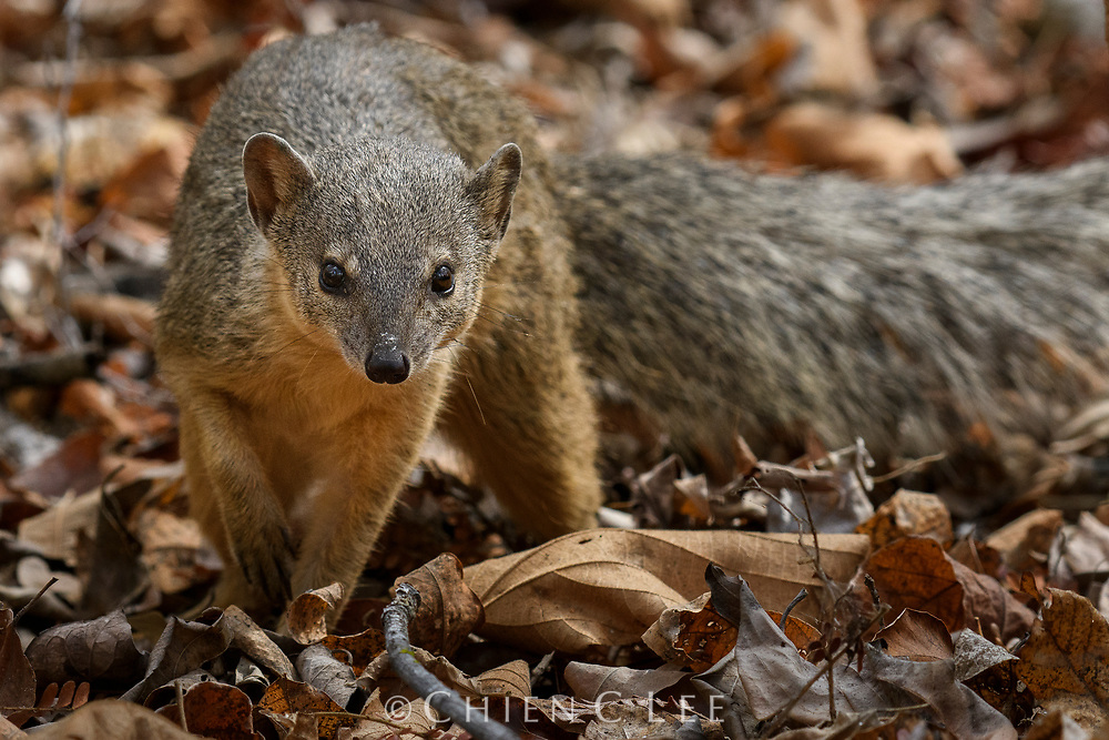 Only distantly related to other mongooses, the Narrow-striped Mongoose (Mungotictis decemlineata) is actually a member of the family Eupleridae and descendant from the same lineage as the much larger Fossa. Active by day, these small predators are endemic to the dry deciduous forests of western Madagascar where they live in small matriarchal family groups. Having only a patchy distribution, they are severely threatened by habitat loss. Photographed in Kirindy Forest Reserve.