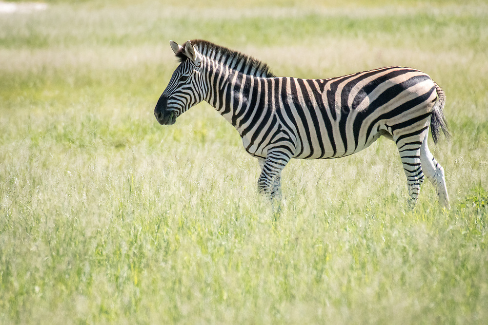 A zebra in the grasslands of the savanna in Hwange National Park. Hwange, Zimbabwe.