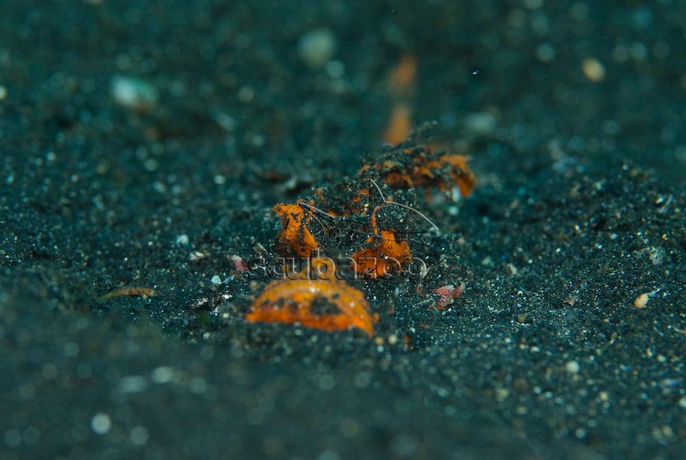 Devil Scorpionfish, Inimicus didactyllus, hidden in sand, KBR, Lembeh Strait, Sulawesi, Indonesia.