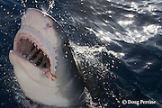 tiger shark, Galeocerdo cuvier, lunging for bait, showing distinctively shaped teeth, and ampullae of Lorenzini ( electro-sensory pores ) on snout; eye partially covered by nictitating membrane; rusty fishhook in corner of mouth may be from longline or sport fishing boat, North Shore, Oahu, Hawaii, USA ( Central Pacific Ocean )