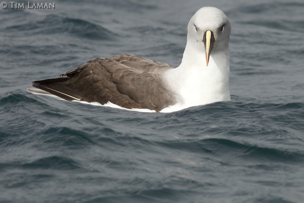 Grey-headed Albatross (Thalassarche chrysostoma)<br />