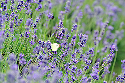 © Licensed to London News Pictures. 19/07/2018. Banstead, UK. A cabbage White butterfly sits on a Lavender plant at Mayfield Lavender Farm in Banstead. Photo credit: Grant Falvey/LNP
