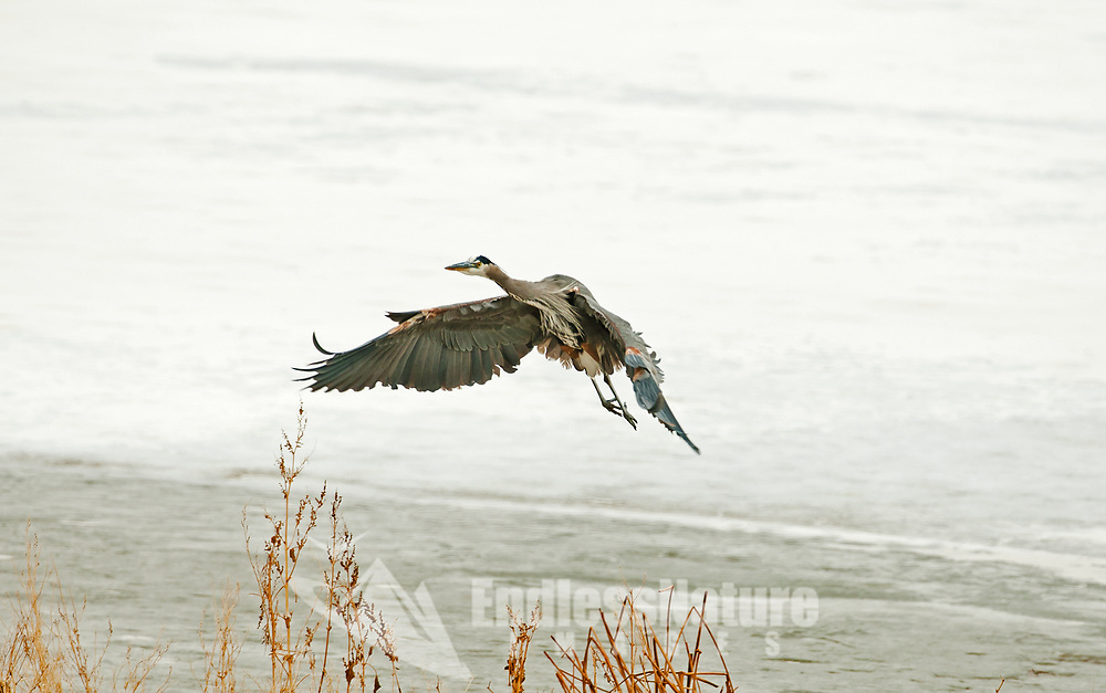 A Great Blue Heron in flight moves to a different side of a frozen pond.