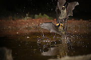 Two western long-eared bats (Myotis evotis) collide while drinking from a desert watering hole in the high desert of Oregon.