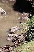 Crocodile Crocodylidae in the mara river in masai mara reserve at the border of kenya and tanzania in africa
