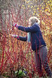 Taking hardwood cuttings from Cornus sanguinea - dogwood - in January. Gathering suitable material