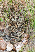 Willow Ptarmigan, Lagopus lagopus, chicks in nest, Yukon Delta NWR, Alaska